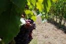 Una profezia di focaccia d'uva